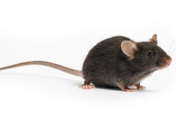 دنیا در جستجوی یک موش خاص ، شاید او ما را از کرونا نجات دهد