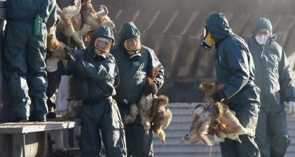 خبرنگاران 2کانون آنفلوآنزای فوق حاد پرندگان در کردستان شناسایی شد