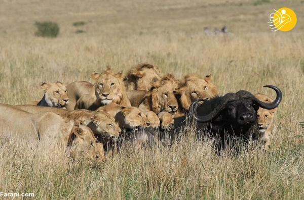 (تصاویر) شکار گاومیش یک تُنی توسط 15 شیر
